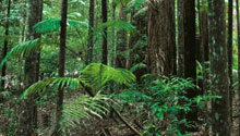 Rainforest - Fraser Island
